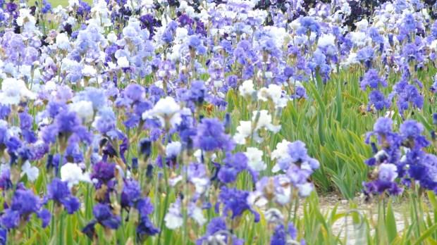 iris au parc floral de la source à Orléans