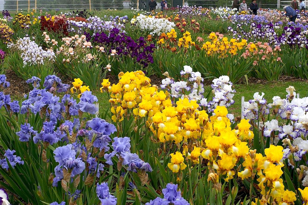 Plus de 400 variétés d'iris