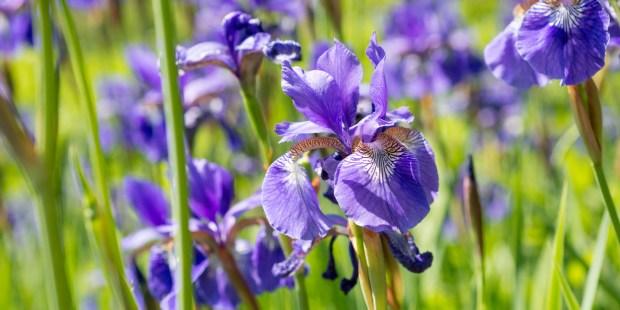 Tout savoir sur l'iris