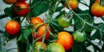 Tomates dans un potager