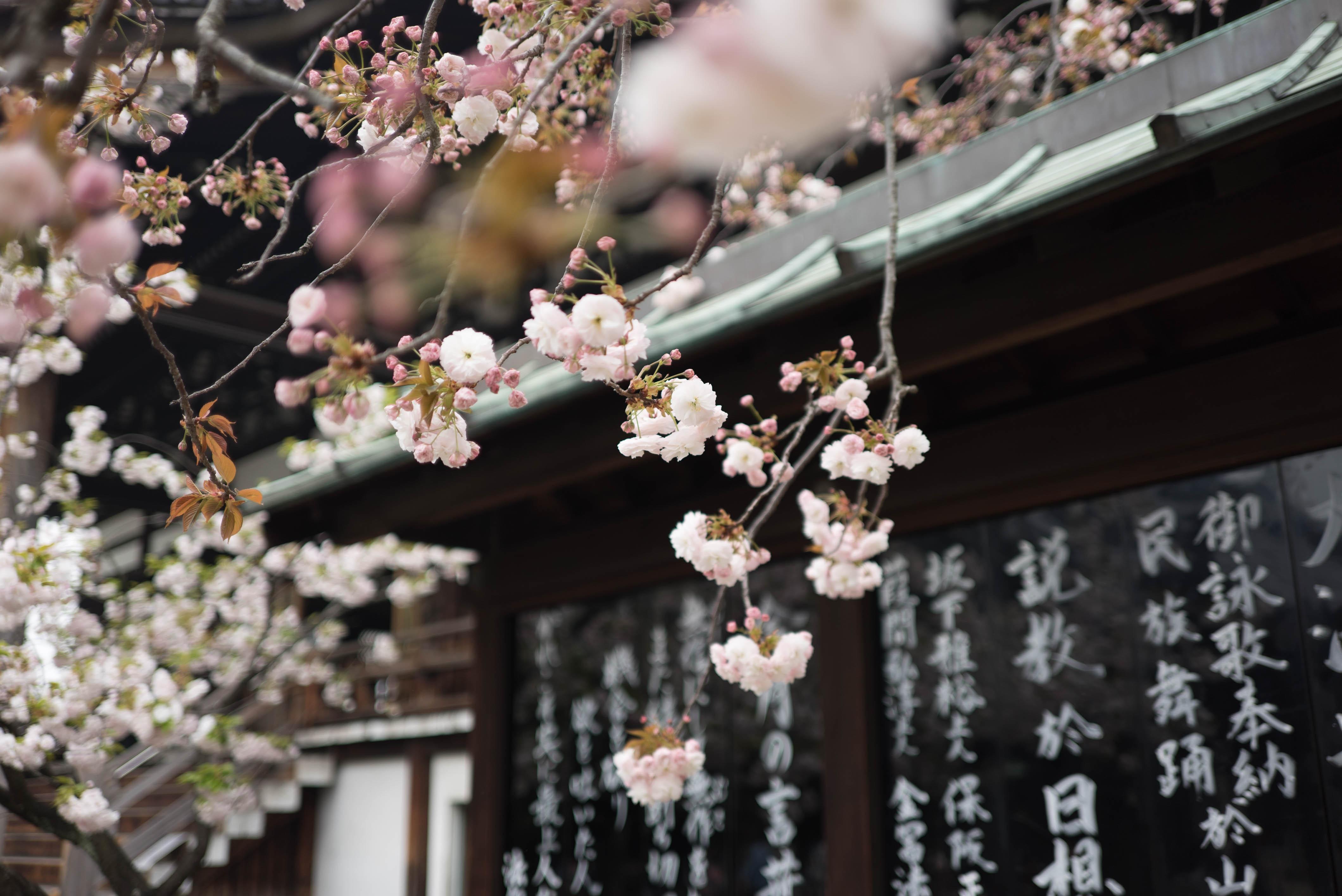photo japon fleurs de cerisier
