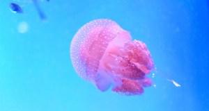 Méduse dans l'eau