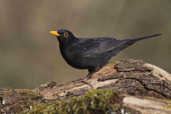 BLACKBIRD SYMBOLISM