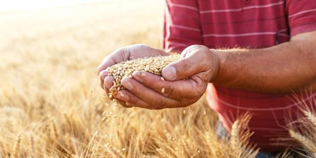 SENIOR FARMER GRAIN