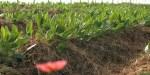maylis plant