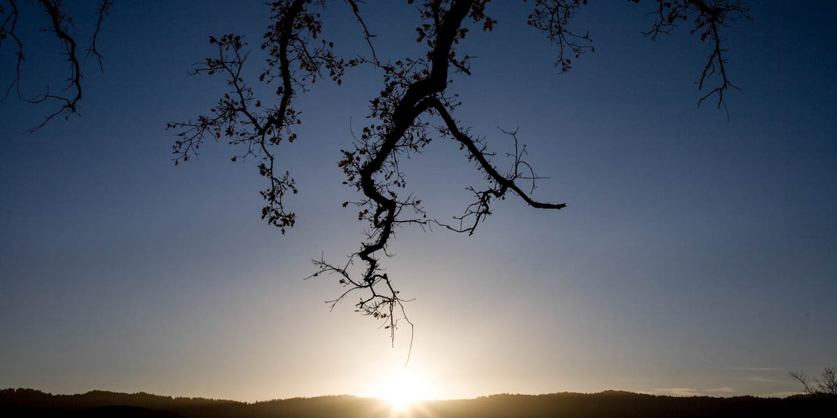 OAK TREE,SUNSET