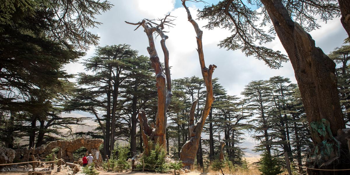 CEDARS OF LEBANON