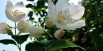 JASMIN; FLOWER