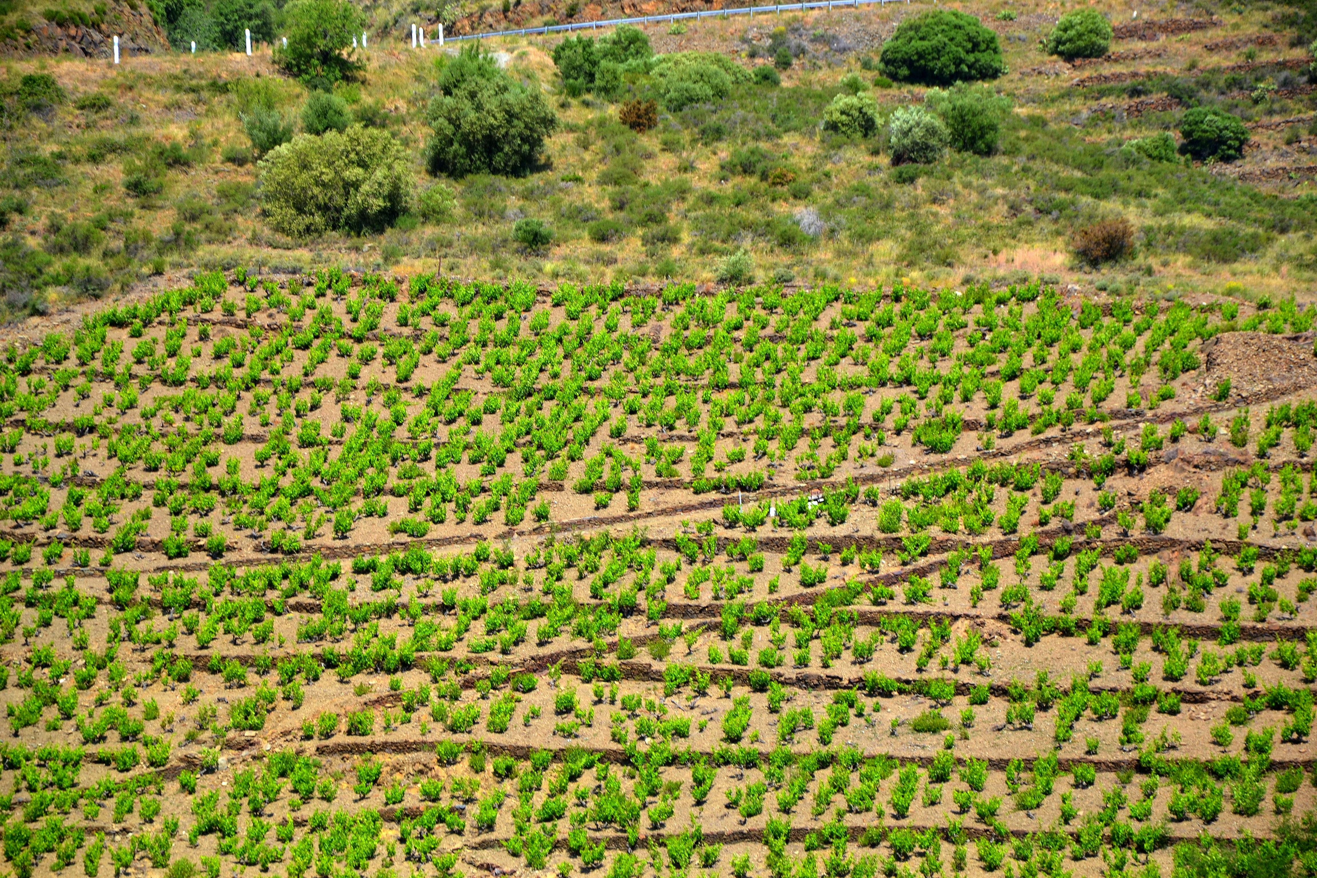web2-vignes-vin-banyuls-flickr.jpg