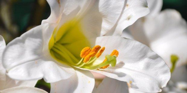 Les fleurs de saint Joseph