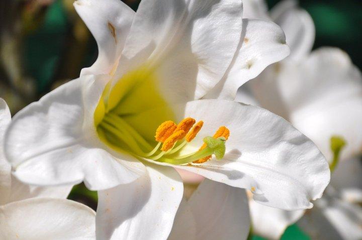 LYS FLOWER OF ST JOSEPH