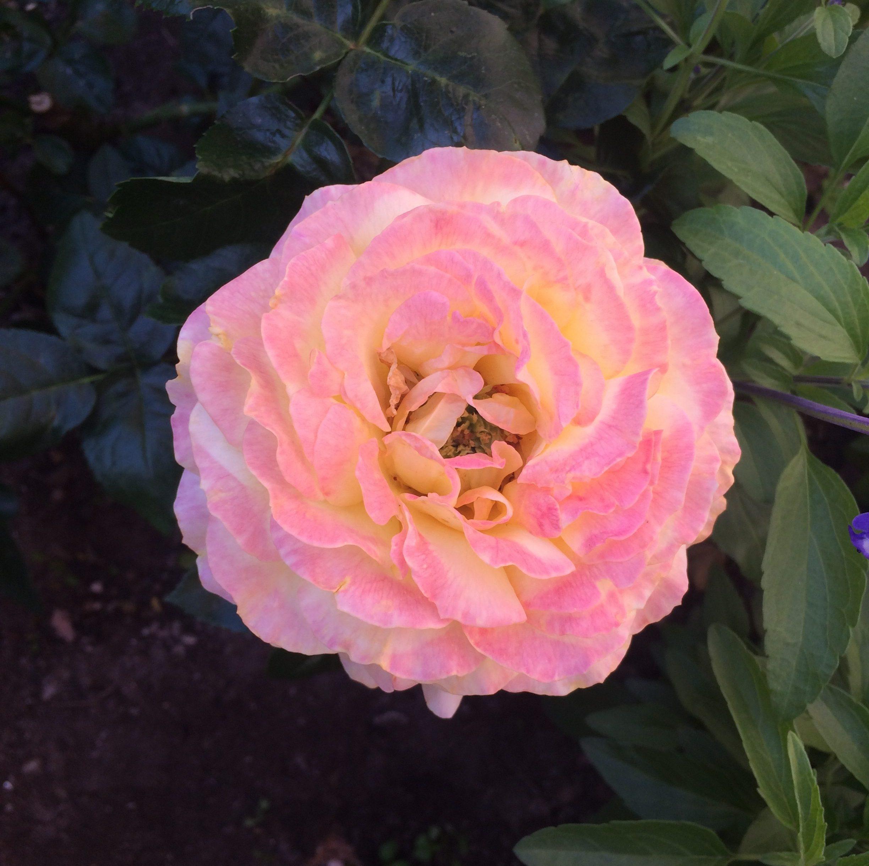 Rose Sainte Odile