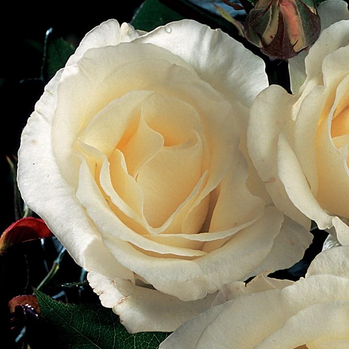 Rose Thérèse de Lisieux