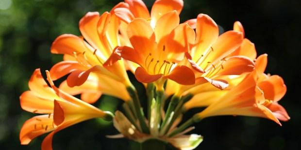 Lys du Natal,flower of st joseph